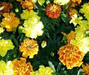 "Marigold (Full Sun – 10-12"")"