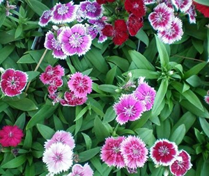 """Dianthus (Full Sun – 10-12"""")"""