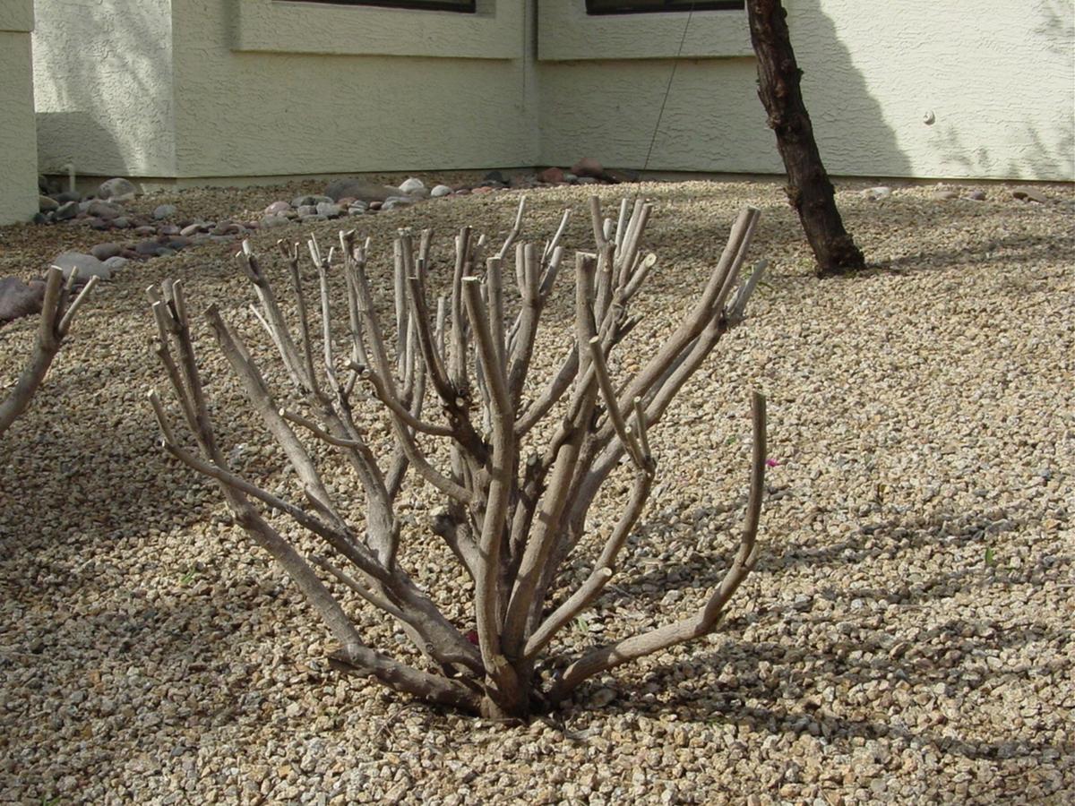 Freshly Pruned Sage Bush