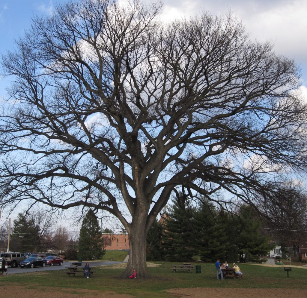 Bare Evergreen Elm